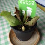 サラセニアとモウセンゴケ、うちの食虫植物はどうなった
